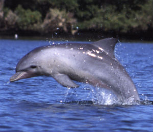 Atlantic Bottlenose Dolphin in Key West